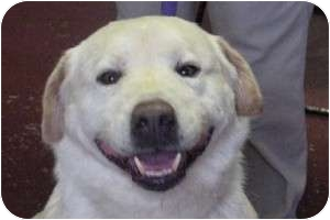 Labrador Retriever/Great Pyrenees Mix Dog for adoption in East Hartland, Connecticut - Hudson