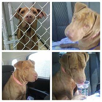 Shar Pei Mix Dog for adoption in Scottsdale, Arizona - Farley