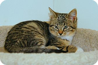 American Shorthair Kitten for adoption in Victor, New York - Maya