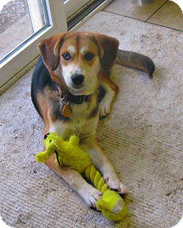 Beagle/Husky Mix Puppy for adoption in Schaumburg, Illinois - Savanna