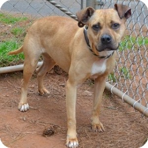 Pit Bull Terrier Mix Dog for adoption in Athens, Georgia - Tawnie
