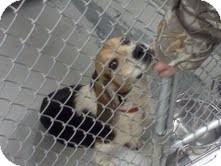 Beagle Mix Dog for adoption in Dundas, Virginia - Chester - Courtesy Post