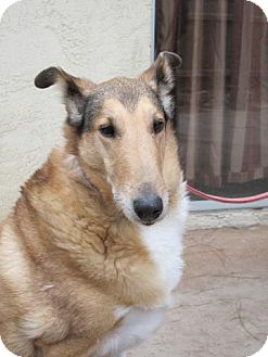 Collie Dog for adoption in San Diego, California - Claire