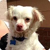 Adopt A Pet :: Soho - Poulsob, WA