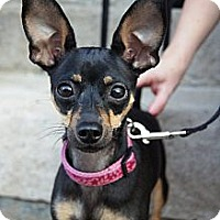 Adopt A Pet :: Victoria - Chicago, IL