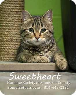 Domestic Shorthair Cat for adoption in Somerset, Pennsylvania - Sweetheart