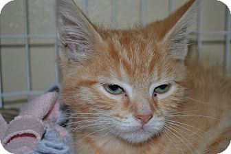 Domestic Shorthair Kitten for adoption in Edwardsville, Illinois - Peng