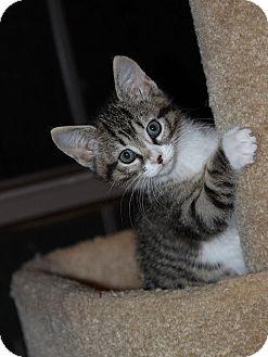 Domestic Shorthair Kitten for adoption in Flower Mound, Texas - Ursa