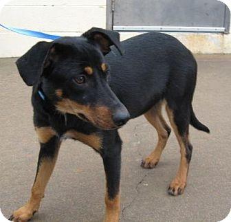 Australian Cattle Dog/Shepherd (Unknown Type) Mix Dog for adoption in Stillwater, Oklahoma - Belle