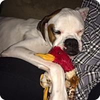 Adopt A Pet :: Zeus Singer - Dayton, OH