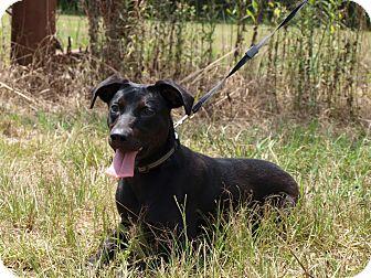 Labrador Retriever Mix Dog for adoption in Oakdale, Louisiana - Connie