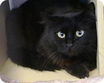 Domestic Mediumhair Cat for adoption in Bellevue, Washington - Eclipse