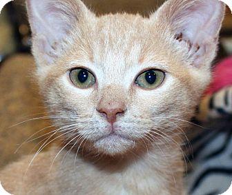 Domestic Shorthair Kitten for adoption in Irvine, California - Faline