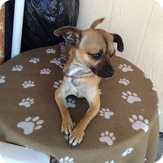 Pug/Chihuahua Mix Dog for adoption in Elk Grove, California - LOGAN
