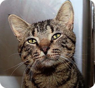 Domestic Shorthair Cat for adoption in Chattanooga, Tennessee - Big Ben