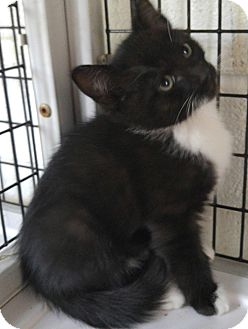 Domestic Shorthair Kitten for adoption in Bryson City, North Carolina - Freddy