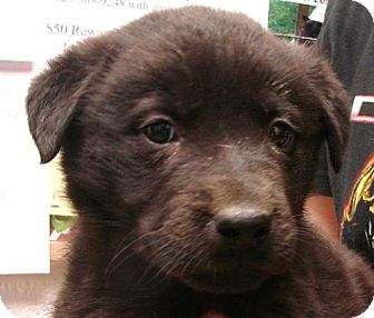 Shepherd (Unknown Type) Mix Puppy for adoption in Erwin, Tennessee - Maynard