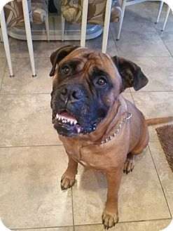 Bullmastiff Dog for adoption in North Port, Florida - Savannah