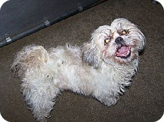 Shih Tzu Mix Dog for adoption in Lafayette, Louisiana - Maggie