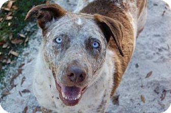 Mixed Breed (Large) Mix Dog for adoption in Bradenton, Florida - Ocean