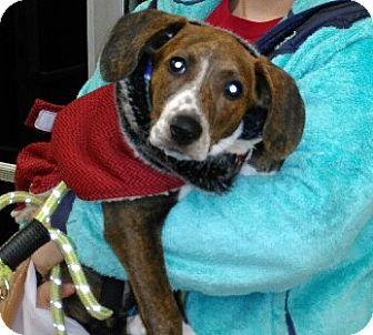 Plott Hound Puppy for adoption in Great Falls, Virginia - Bonnie