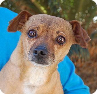 Chihuahua Mix Dog for adoption in Las Vegas, Nevada - Simba