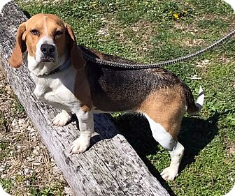 Beagle Mix Dog for adoption in Loogootee, Indiana - Daisy