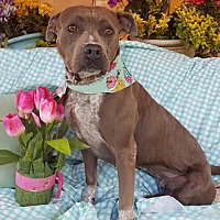 Adopt A Pet :: Pancha - Toluca Lake, CA