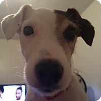 Adopt A Pet :: Sophia in Waco, TX - Austin, TX