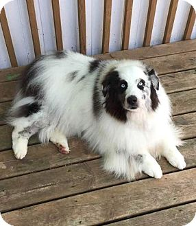 Australian Shepherd Dog for adoption in Minneapolis, Minnesota - Oreo