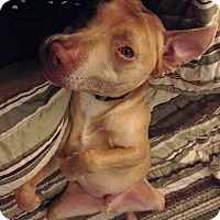 Adopt A Pet :: Elijah - Rowlett, TX