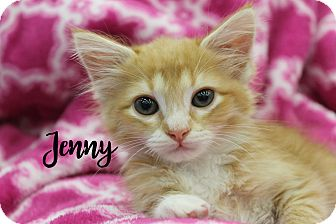Domestic Shorthair Kitten for adoption in Wichita Falls, Texas - Jenny