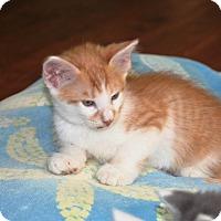 Domestic Mediumhair Kitten for adoption in Parkland, Florida - Tang