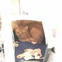 Domestic Shorthair/Domestic Shorthair Mix Cat for adoption in Myrtle Beach, South Carolina - Garfield