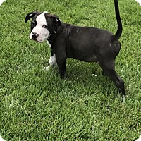 Pit Bull Terrier Puppy for adoption in Charleston, West Virginia - Cory