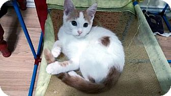 Domestic Shorthair Kitten for adoption in Bulverde, Texas - Cookie Dough