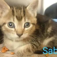 Adopt A Pet :: Saber - Greenville, KY
