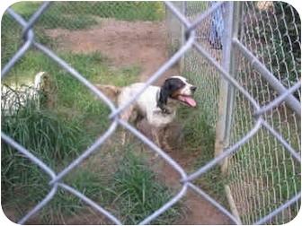 English Setter Mix Dog for adoption in Cairo, Georgia - Bo
