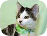 Domestic Shorthair Kitten for adoption in San Diego, California - Cleo