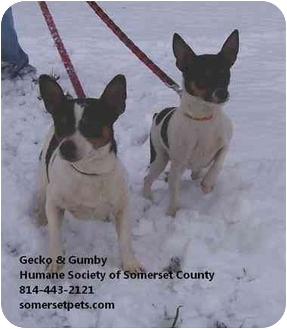 Chihuahua/Jack Russell Terrier Mix Dog for adoption in Somerset, Pennsylvania - Gecko & Gumby