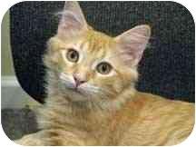 Domestic Mediumhair Kitten for adoption in Aldie, Virginia - Jeffery