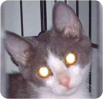 Domestic Shorthair Kitten for adoption in Muskogee, Oklahoma - Joey