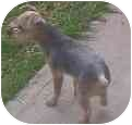 Yorkie, Yorkshire Terrier Dog for adoption in Phoenix, Arizona - Harriett