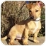 Photo 2 - Miniature Pinscher/Dachshund Mix Puppy for adoption in Osseo, Minnesota - Mickey