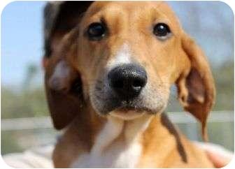 Redbone Coonhound Puppy for adoption in Buffalo, New York - Rio: FREE TRANSPORT