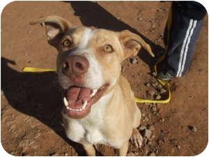 Australian Cattle Dog/American Pit Bull Terrier Mix Dog for adoption in Stillwater, Oklahoma - Lexis