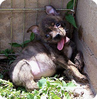 Boston Terrier/Pomeranian Mix Puppy for adoption in San Angelo, Texas - Brandy
