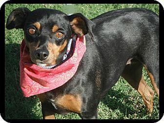 Miniature Pinscher Mix Dog for adoption in Cranford, New Jersey - Nina