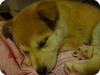 Shepherd (Unknown Type)/Labrador Retriever Mix Puppy for adoption in Edmonton, Alberta - Daffy