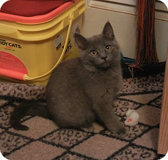 Domestic Shorthair Kitten for adoption in Southington, Connecticut - Jingles